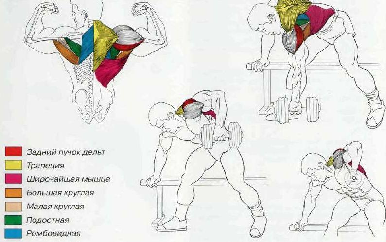 Анатомия тяги в наклоне