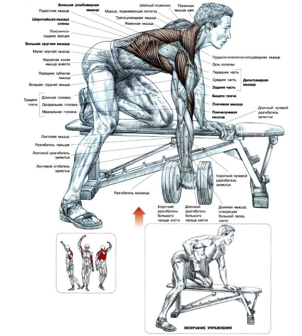 Анатомия тяги гантелей