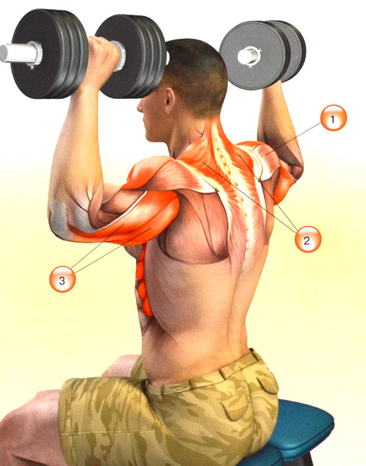 Мышцы во время жима