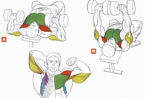 Мышцы груди и трицепс